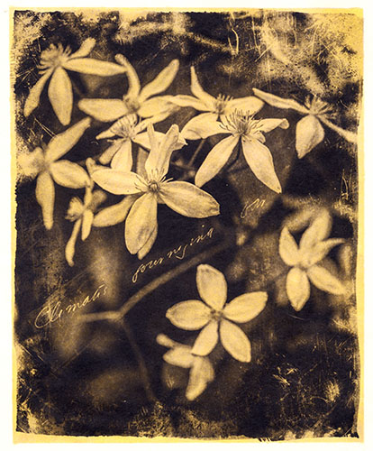 Clematis, Journeying Far