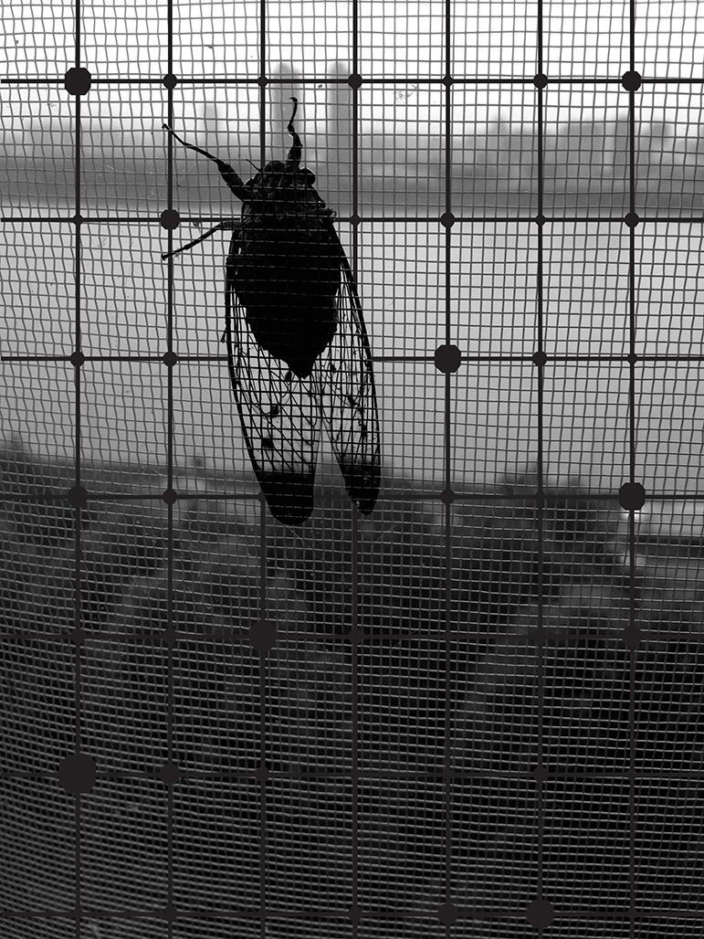 YYOO-Cicada+Tree+BW01.jpg