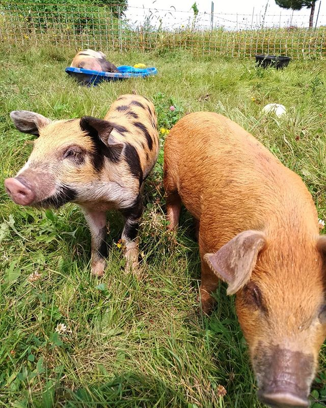 The original ploughs ;) Grateful to these guys for digging up more garden space for us. They're living out in the fresh air, on the grass, acting like pigs - as it should be. Plus sloshing around in a plastic baby pool, playing with a bouncy ball, and eating what garden produce we can't sell or preserve. Happy pigs, better land, more healthful meat.  #pasturedpork #pigs #one23farm #rotationalgrazing #pasturebasedfarming #farming #minnesotagrown #tilling #sustainableagriculture #diversifiedfarm