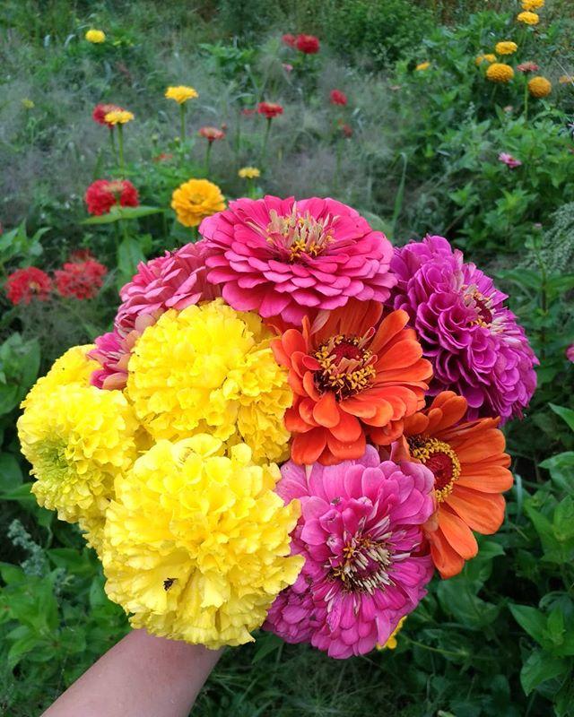 Never been a flower farmer before 💚💜💚💜 #sandstonefarmersmarket #organicgardening #marketgarden #farming #gardening #zinnia #marigolds #annuals
