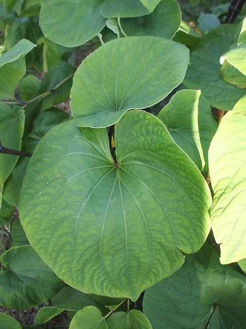 Mature kava leaves