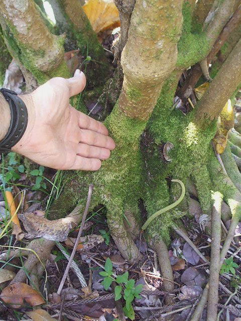 "A mature kava plant. Only the parts of kava below where the hand points should be used for consumption. With the exception of knuckles used for growing more kava, all parts of the plant above the hand (i.e. the ""aerial parts"") should be discarded as they contain mildly toxic alkaloids. Unfortunately, some kava producers or distributors feel tempted to mix aerial parts of the plant with the roots in order to make extra money. This is one of the reasons why it is so important to only buy kava from trustworthy and reliable sources."