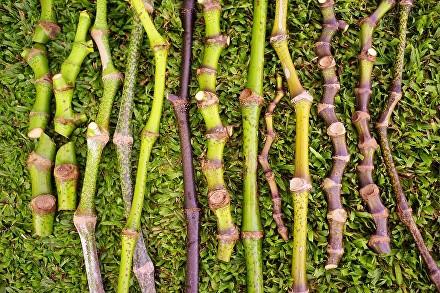 Different strains of kava (photo courtesy of hawaiankava.com)