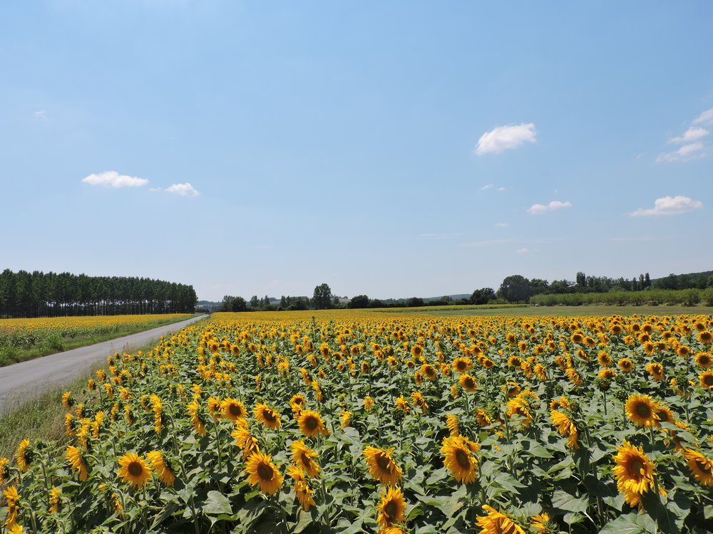 Practicing mindfulness through endless fields of sunflowers