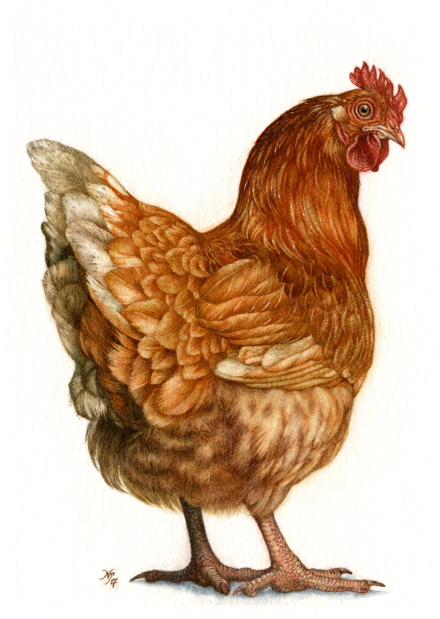 RedHen1200dpiPng-900.png
