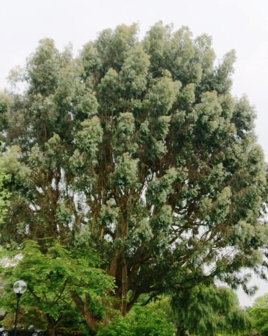 Eucalyptus Before