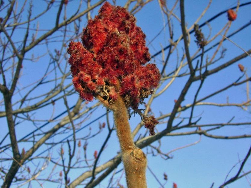 Staghorn Sumac fruit, Photo by Madeleine DeManche