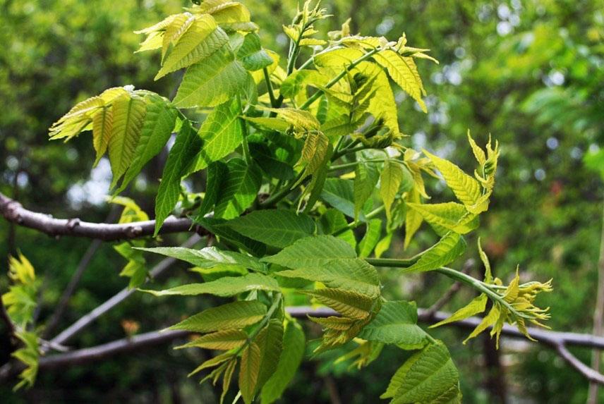 Butternut leaves, Photo by Juliet Kaye