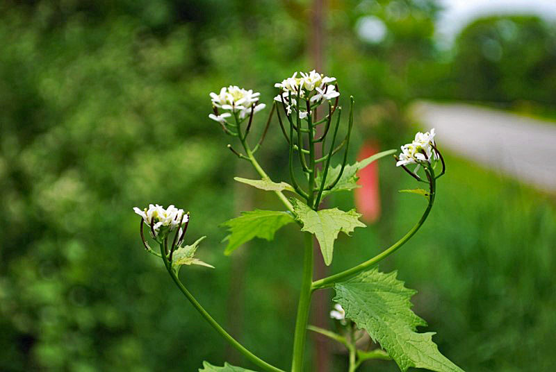 Garlic Mustard flowers, Photo by Juliet Kaye