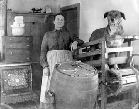 Dog used as a kitchen laborer, to power a primitive butter churn