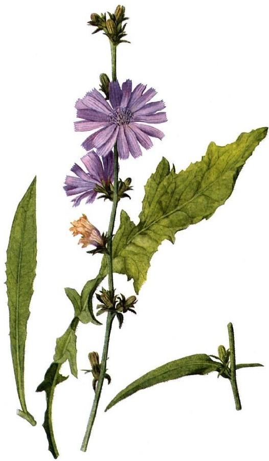 flower essence chicory.jpg