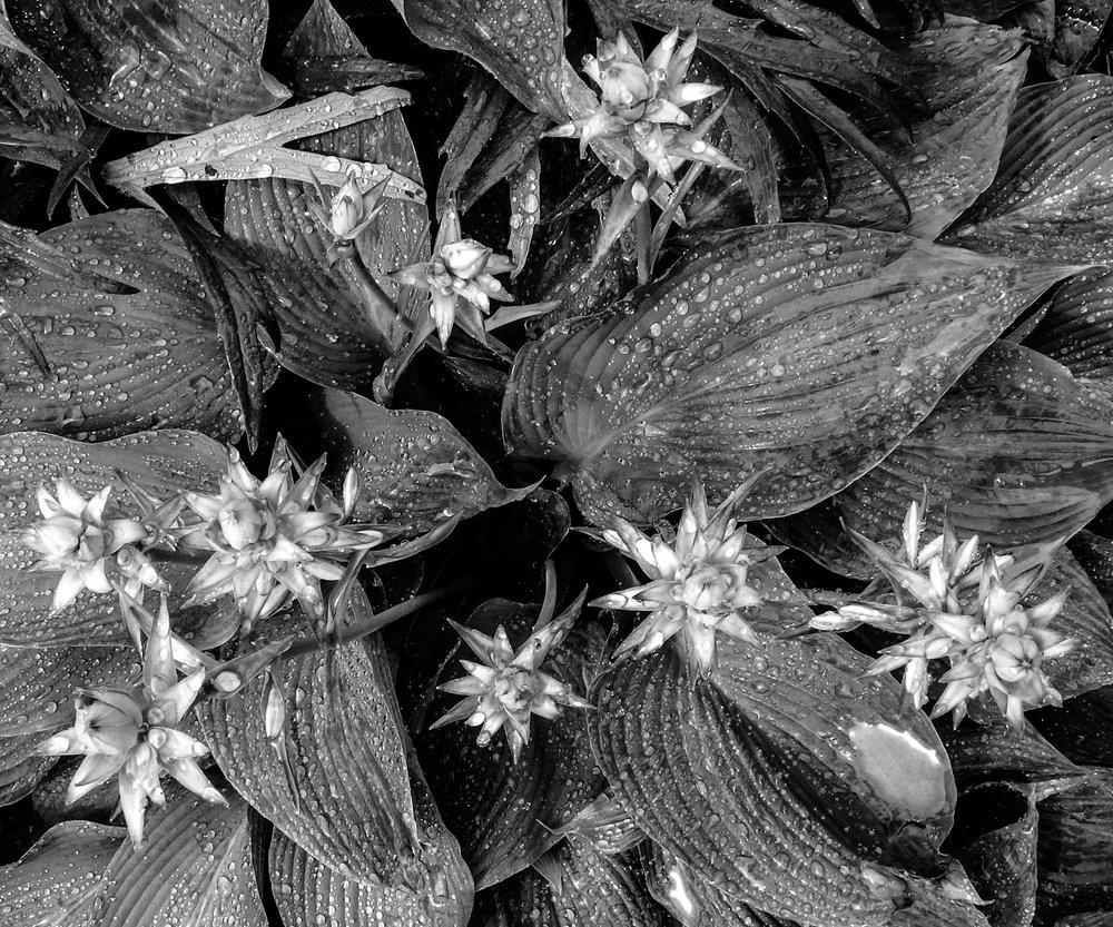 Flora - Black & White -