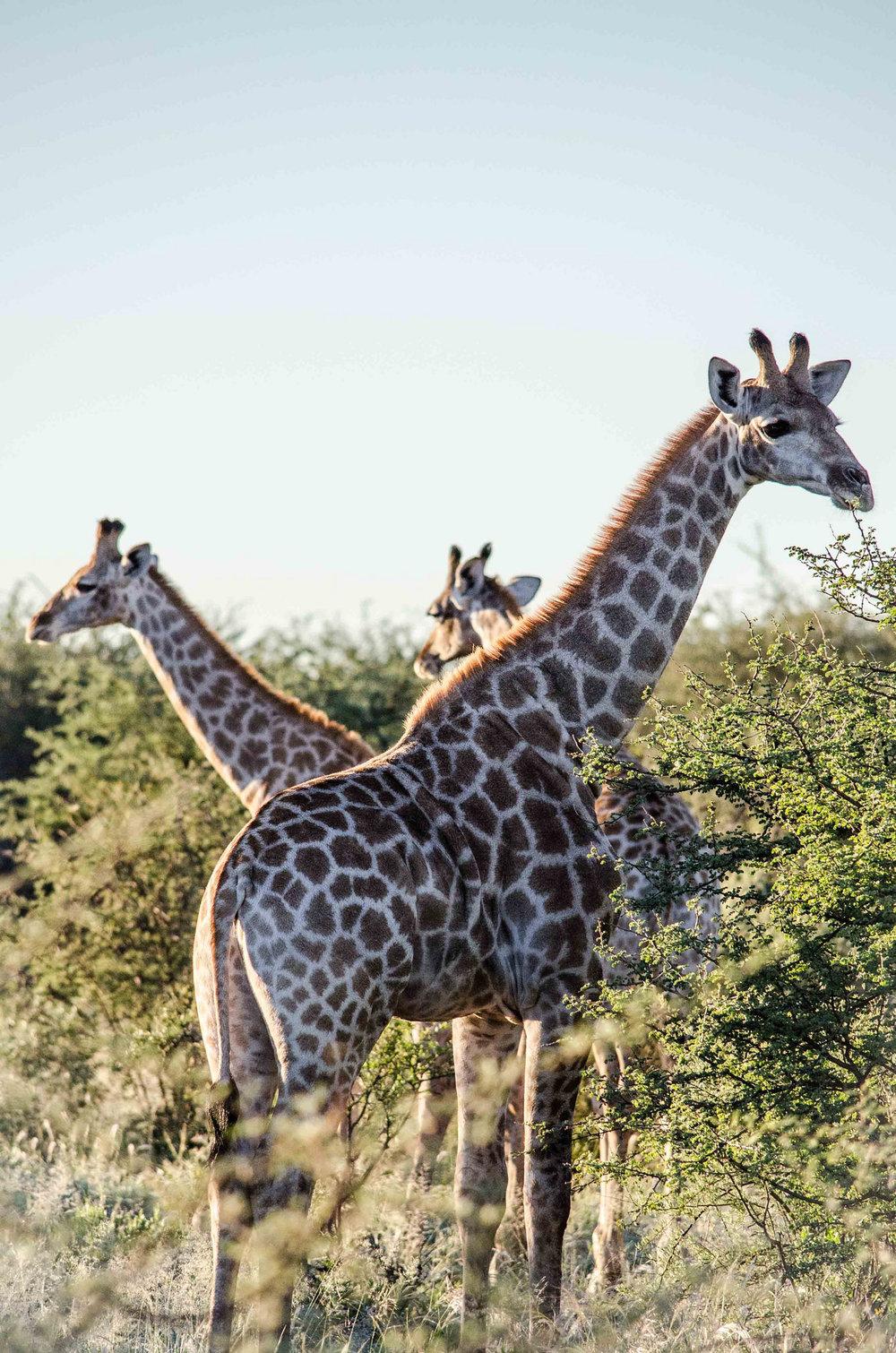 giraffer.jpg