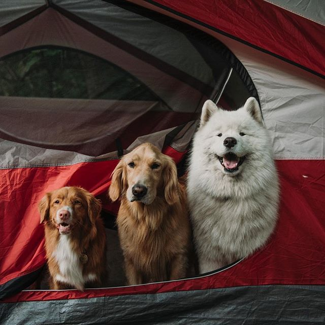 Good things come in threes. ⠀ ⠀ 📷: @wanderingpawsphotography⠀ ⠀ ⠀ #campingwithdogs #dogsofig #camping #theoutbound #createexplore #samoyed #goldenretriever #goldensofig #justgoshoot