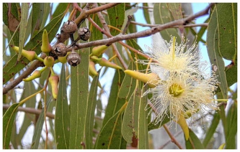 Feature - Eucalyptus Leaf