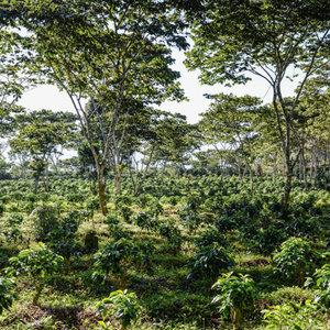 coffee_farm_sq.jpg