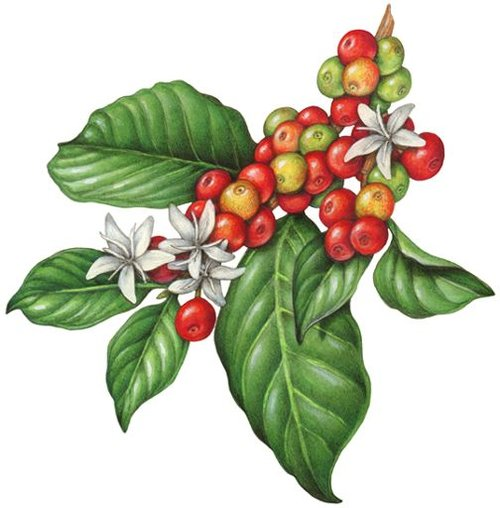 coffee-plant-clipart-green-plant-11.jpg