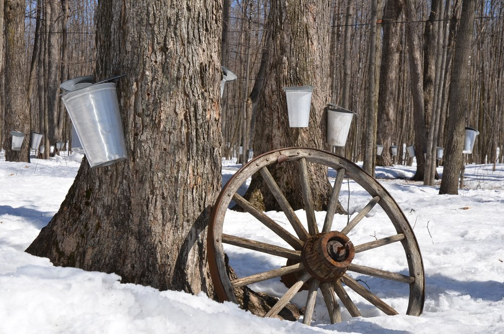 Buckets collect the sap as it runs out of the tree.
