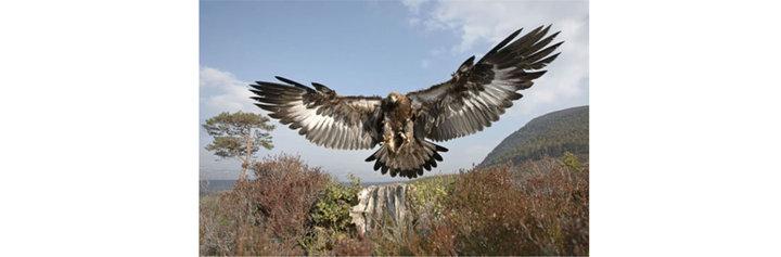 med_golden eagle logo.jpg