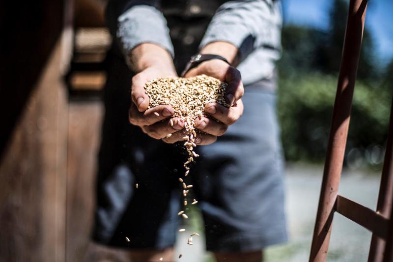 Raw oat groats from Fieldstone Grains in Pembeton, BC, getting ready to be rolled in our oak flaking machine.