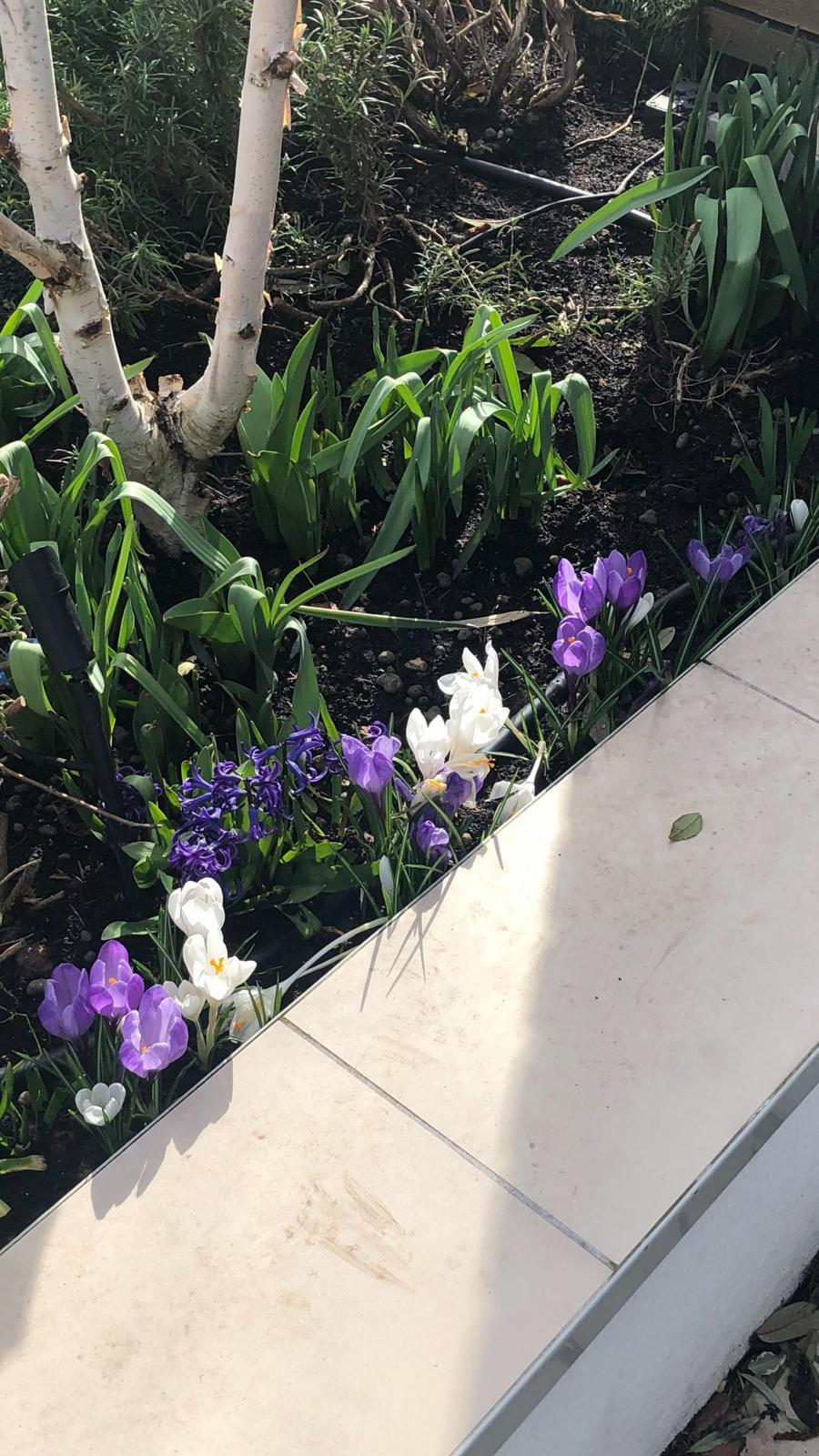 Crocus blooms in Balham