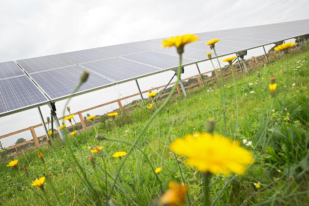 Whitemore Farm Dandelions2.jpg