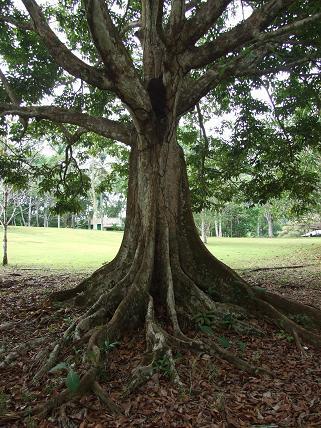 Canarium ovatum tree.jpg