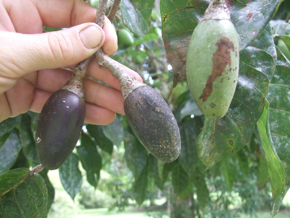 Canarium ovatum ripe fruit.jpg