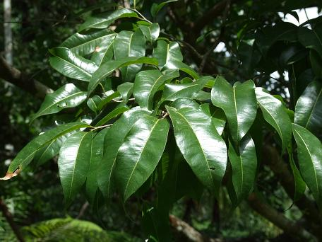 Lecythis zabucajo leaf.jpg