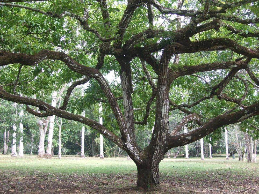 Lecythis elliptica tree.jpg