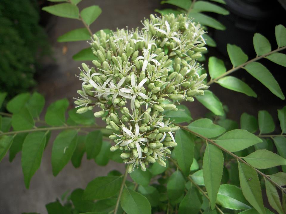 Rutaceae Murraya koenigii leaf flower.jpg
