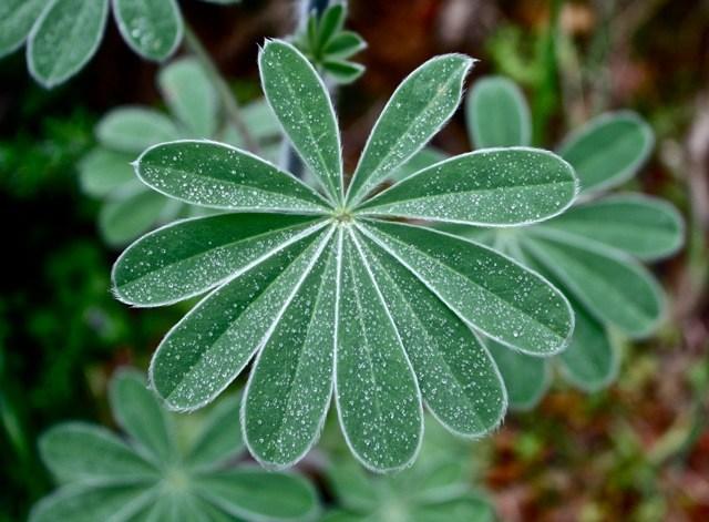 Lupinus pilosus leaf.jpg