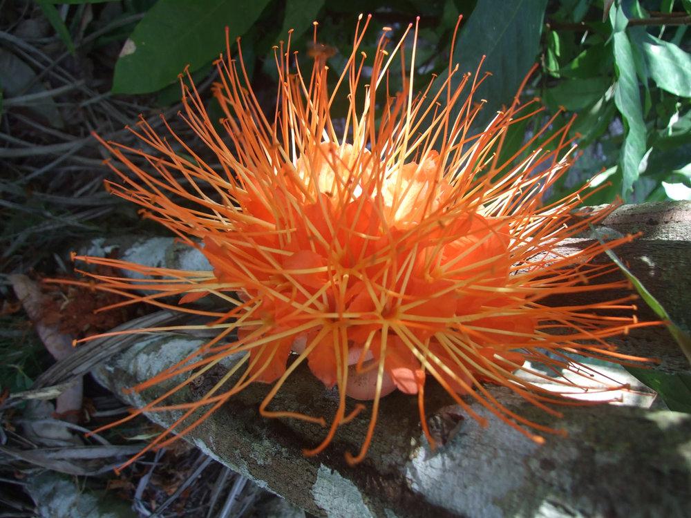 Brownea macrphyla flower.jpg