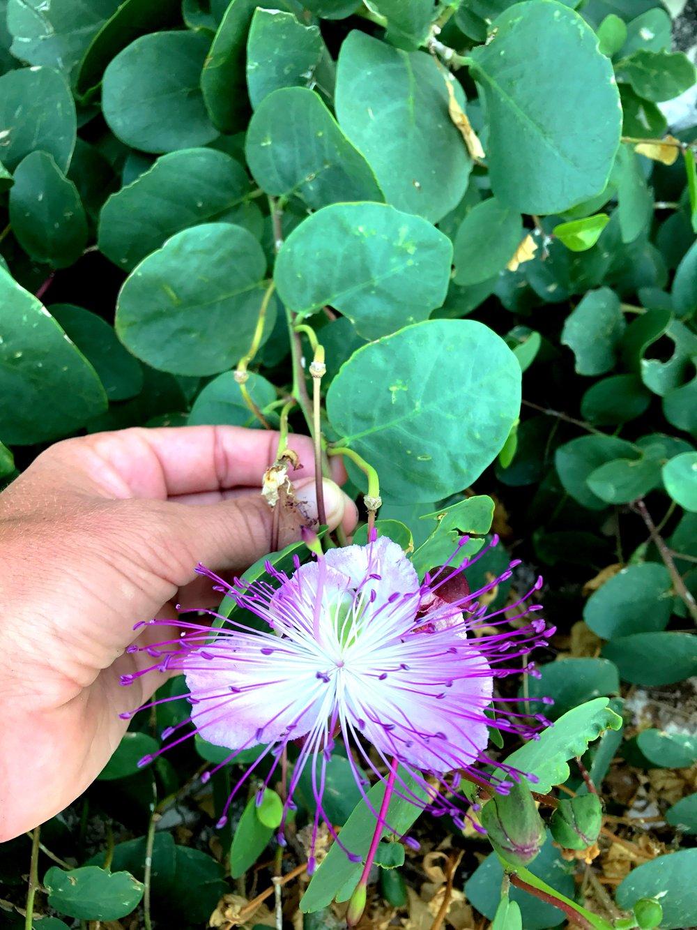 Capparis flower