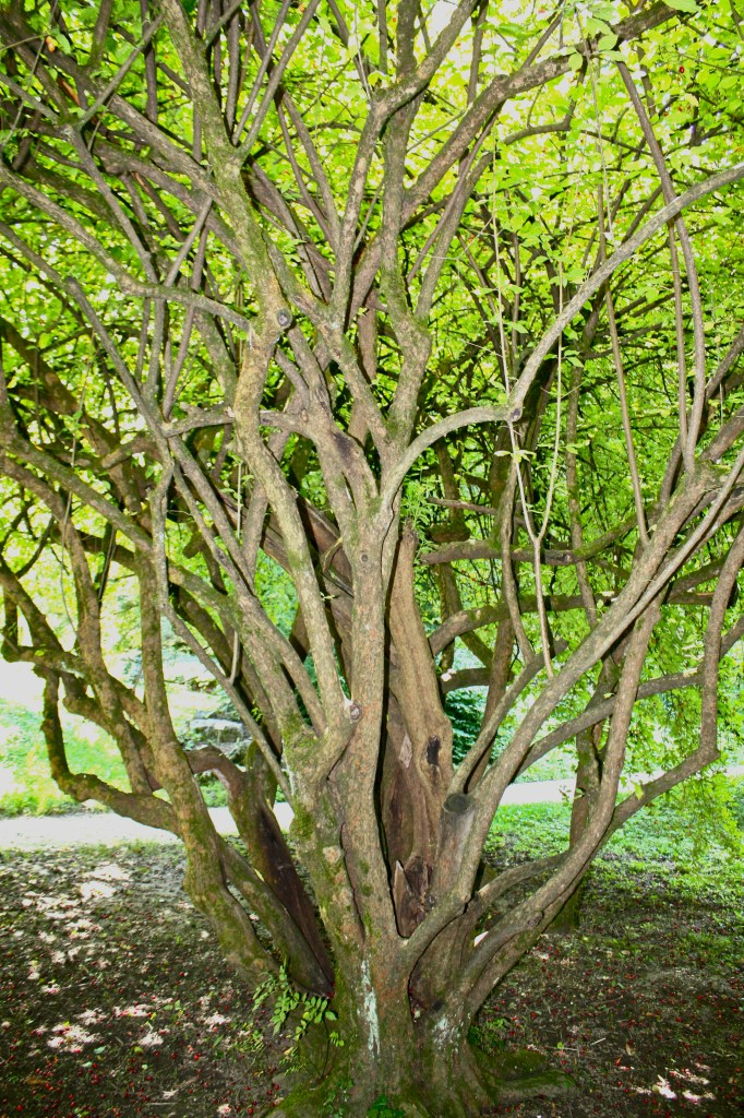 Cornus mas tree.jpg
