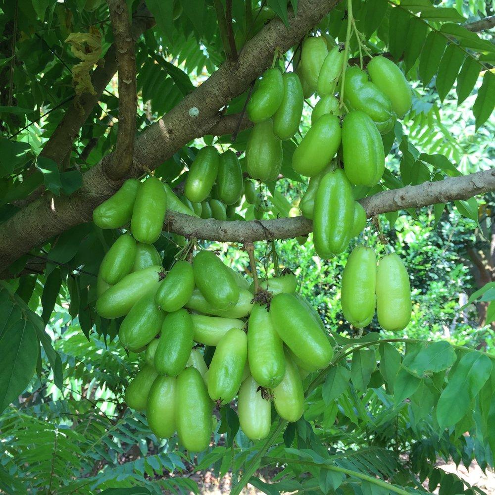 Averrhoa bilimbi ripe fruit.