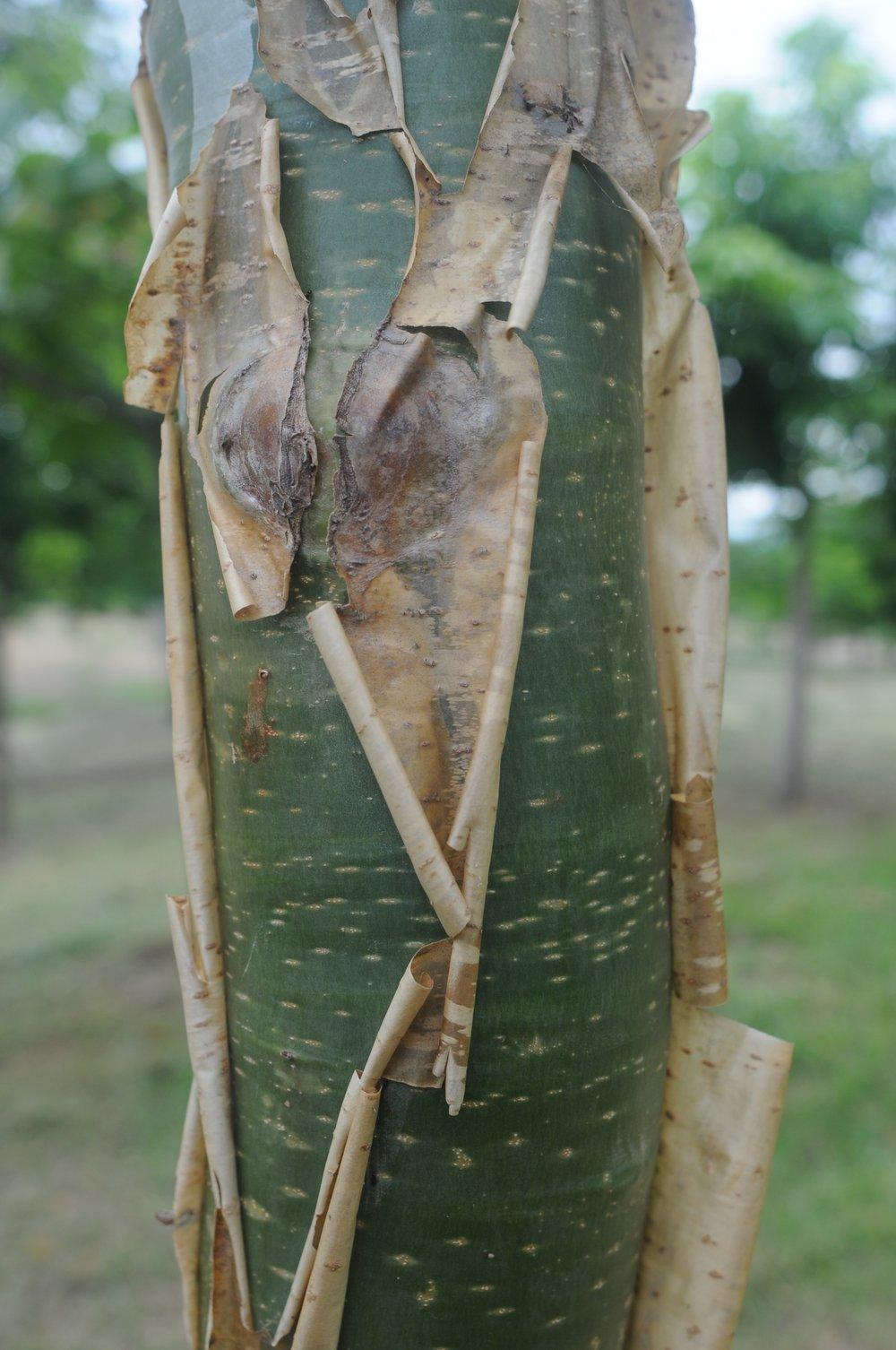 Jatropha chamelensis bark.jpg