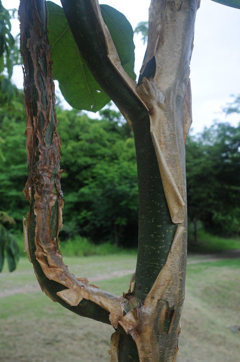 Jatropha chamelensis tree.jpg