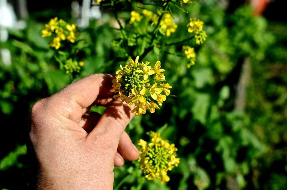 Brassica rapa.jpg