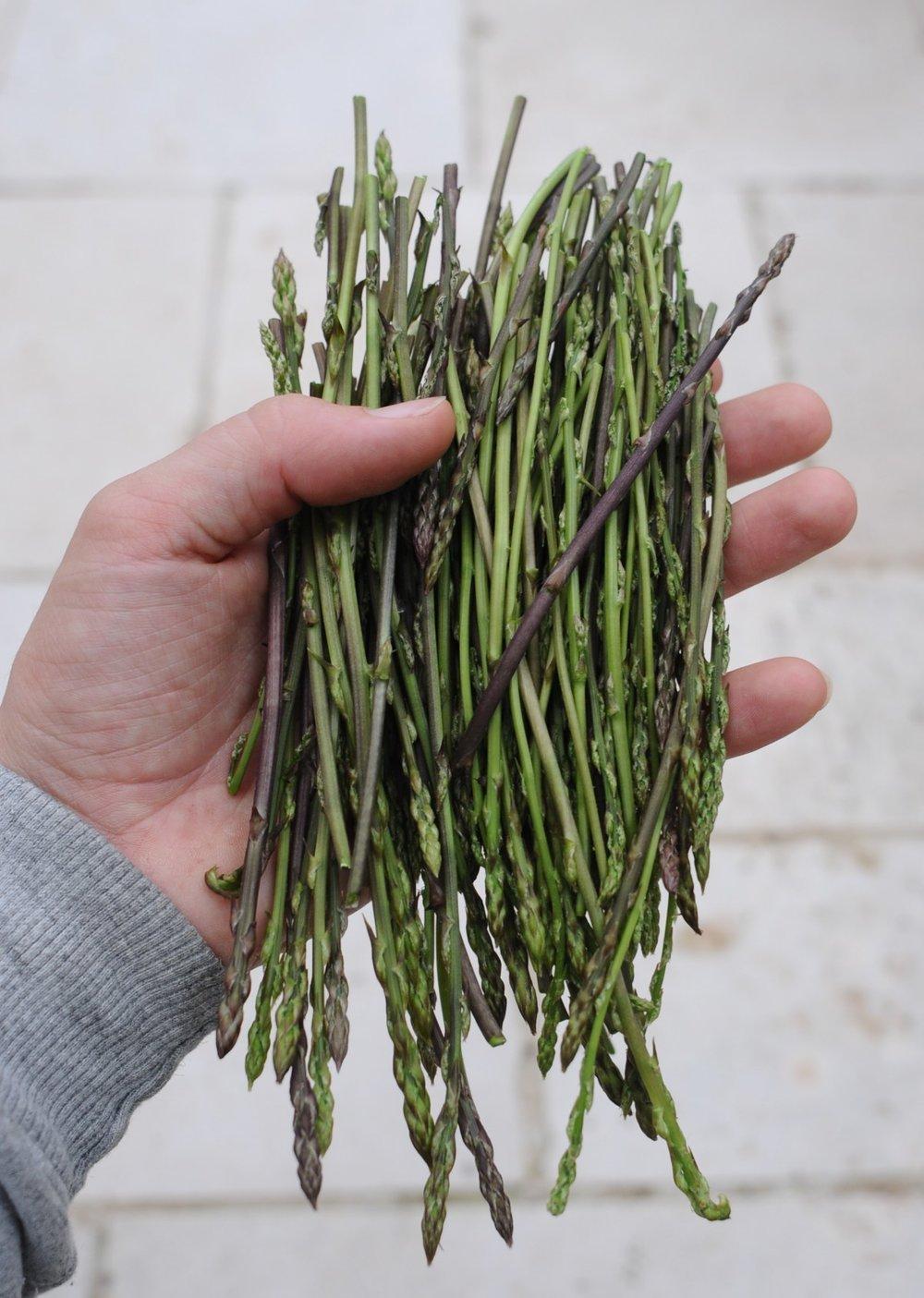 Asparagus prostratus handful.jpg