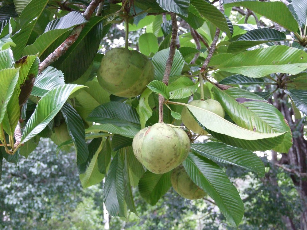 Dillinia indica Elephant apple fruit.jpg