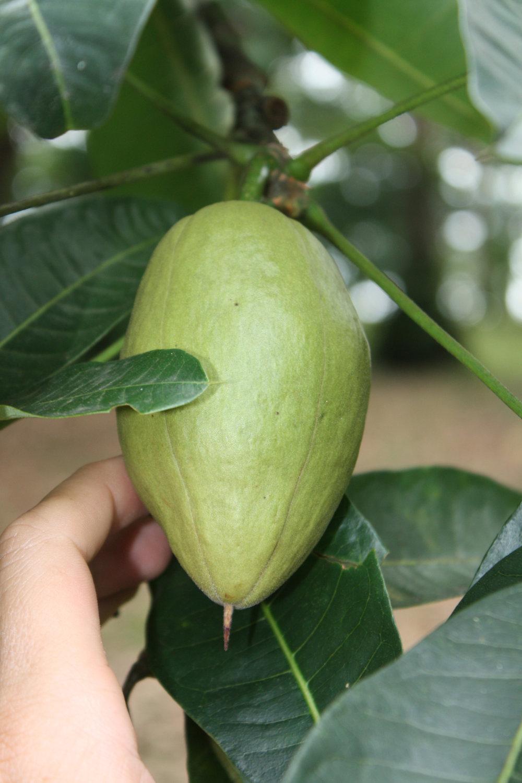 Bombocopsis glabra fruit.jpg