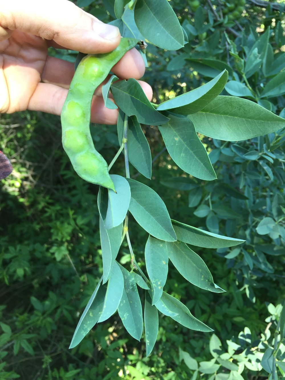 Anagyris foetida leaves and maturing seedpod.