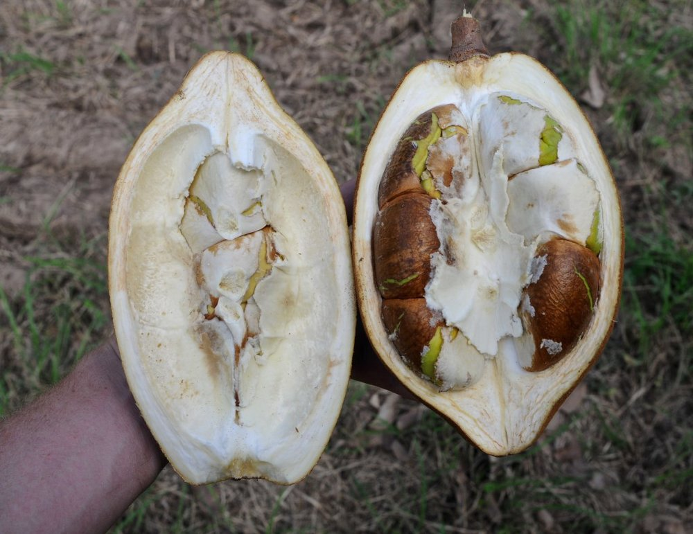 Pachira aquatica cross section.jpg