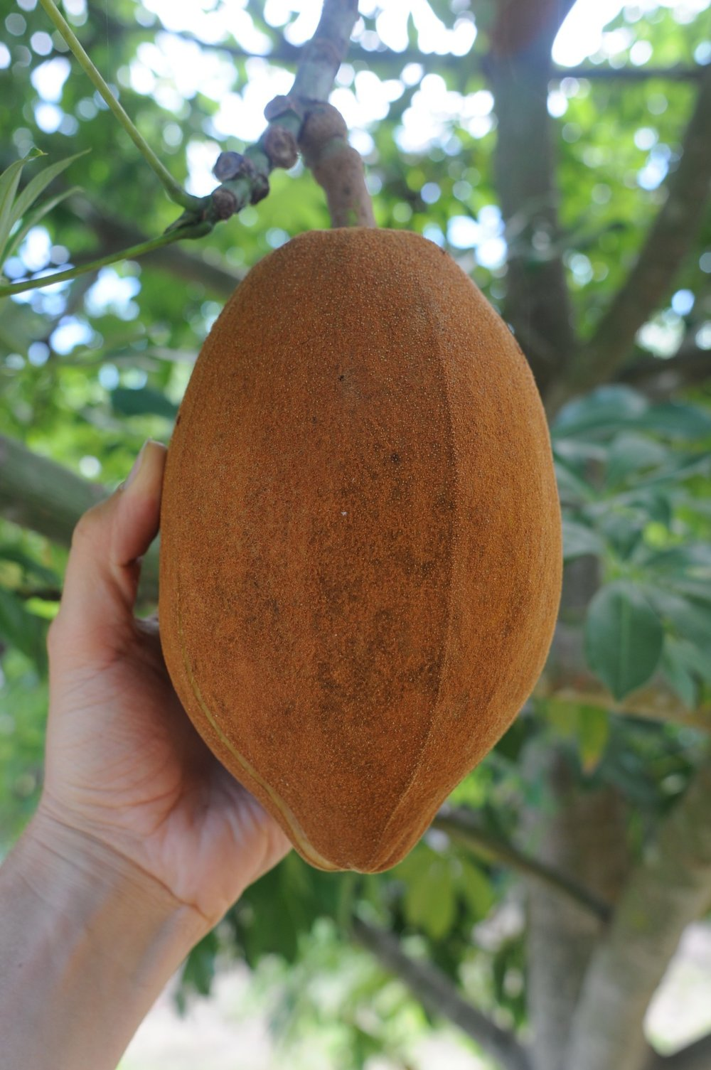 Pachira aquatica fruit.jpg