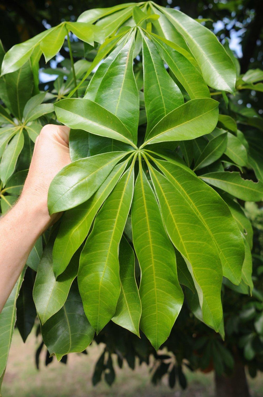 Pachira aquatica leaf.jpg