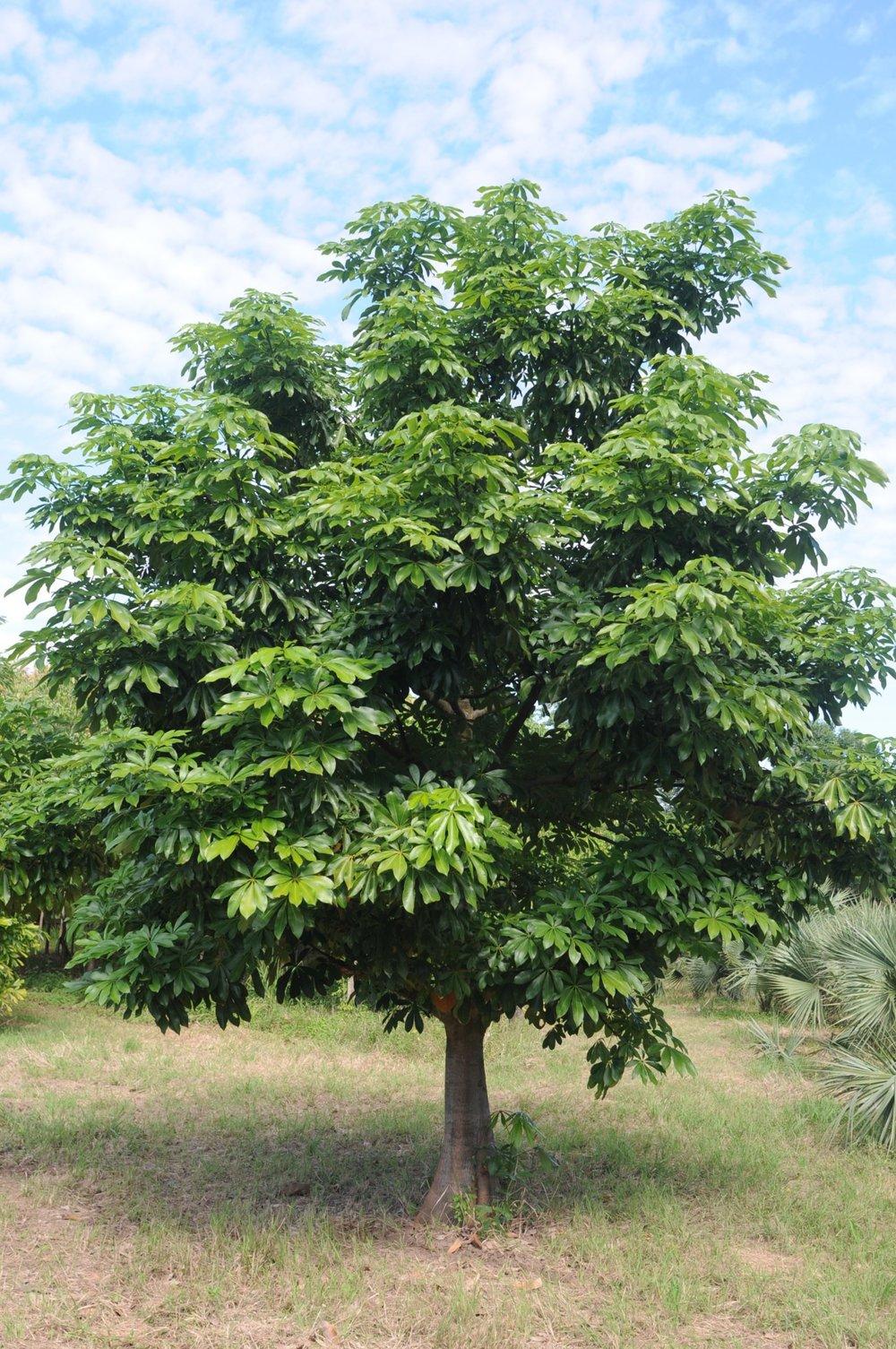 Pachira aquatica tree.jpg