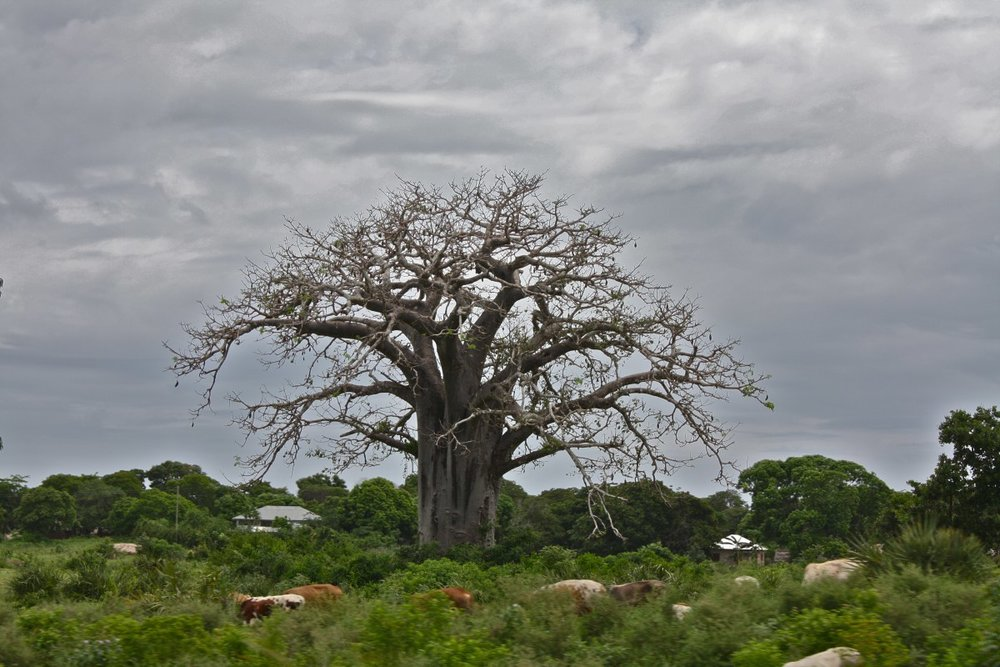 Adansonia digitata tree.jpg