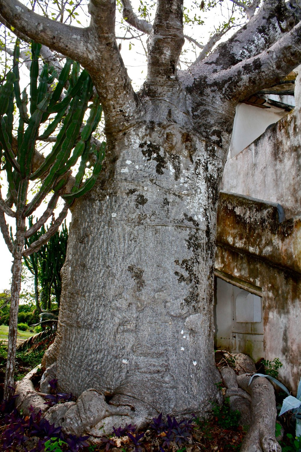 Adansonia digitata trunk.jpg