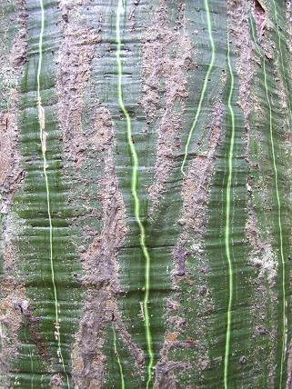 bombaceae-bombax-barrigon-4.jpg